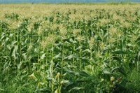 NDSU Extension Service recommendations could impact corn cultivation practices on more than 3 million acres in the state. Photo credited to NDSU extension.